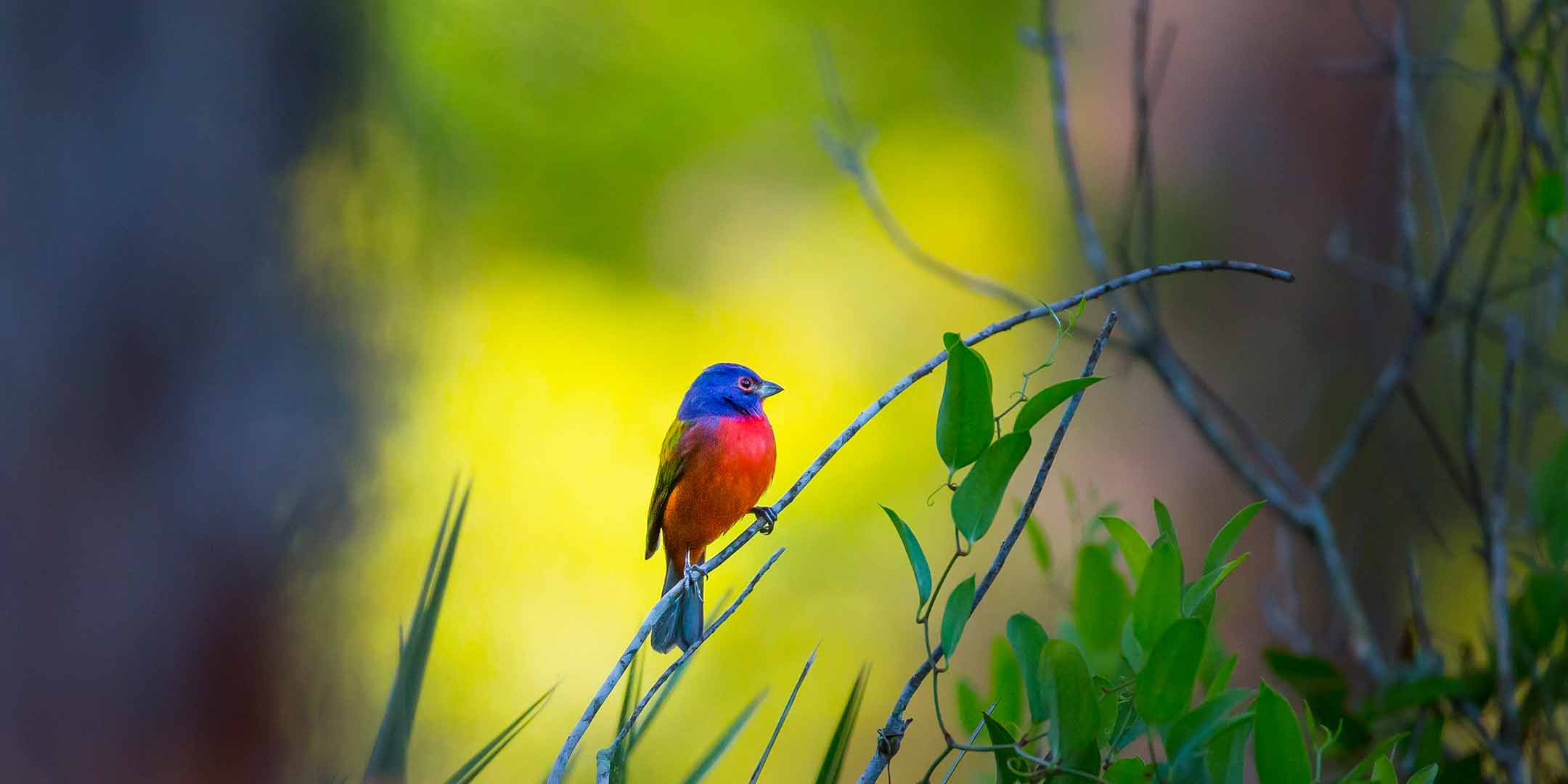 PaintedBunting-Image-Rectangle-2160x1080