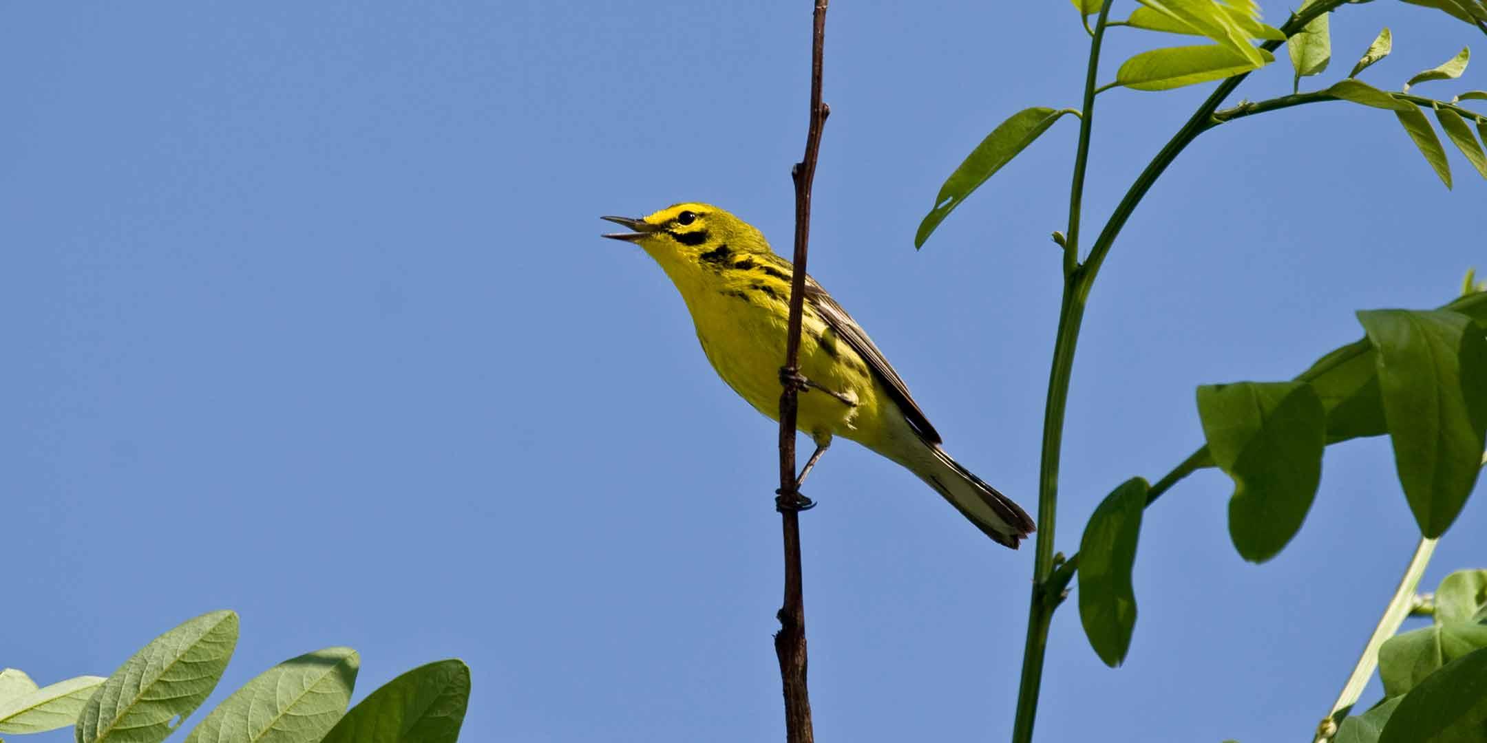 YellowWarblor-Image-Rectangle-2160x1080